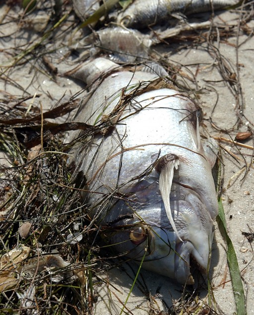 NANAIMO ? Large numbers of dead herring that washed ashore this week on a ...
