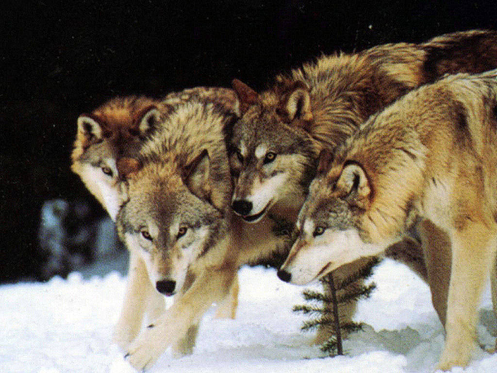 Wolves: 'Super Pack' Of 400 Wolves Terrorise Remote Russian Town