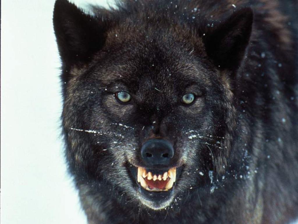wolves_005.jpg