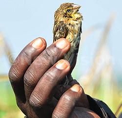 quelea-birds