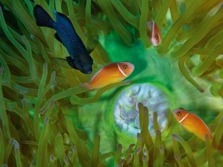 01-damselfish-and-trio-anemonefish-670