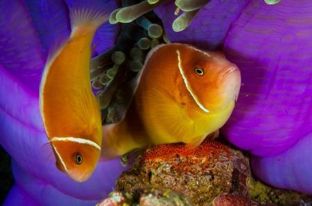 05-pink-anemonefish-670
