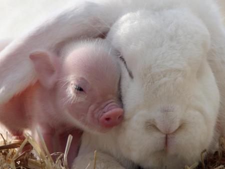 rabbit_and_miniature_pig