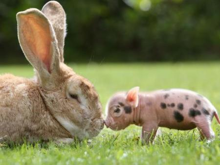 rabbit_and_miniature_pig_2
