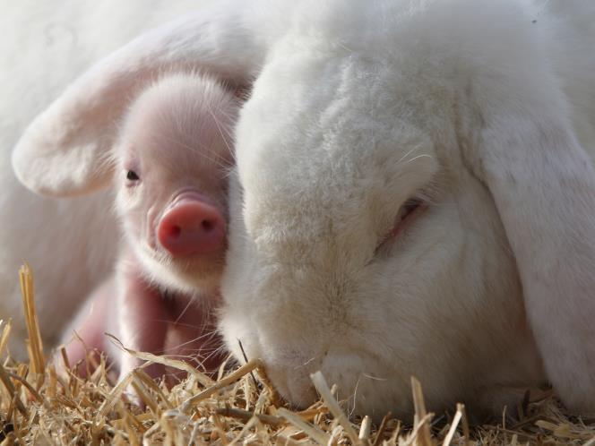 Mini Teacup Pigs