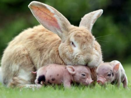 rabbit_cuddles_two_miniature_pigs