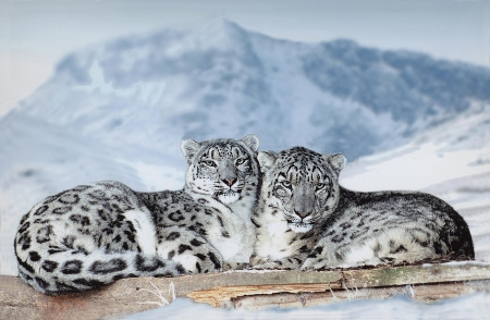 most_beautiful_animals_snow_leopards
