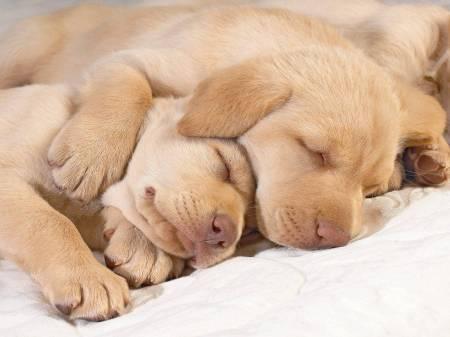 hd-wallpapers-sleeping-puppies