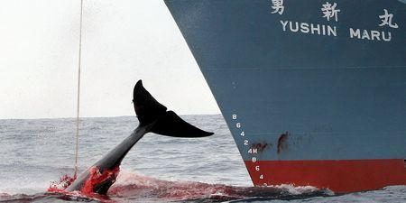 japan_slaughter_whales
