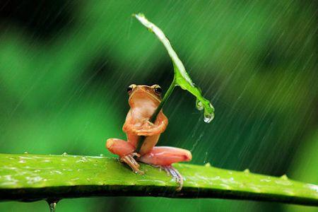Tree_frog_uses_leaf_as_um_019 (3)