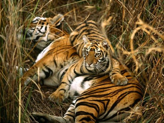 indian_tigers