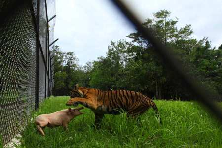 A Sumatran tiger plays with a pig before killing it at the Sumatra Tiger Rescue Centre compound