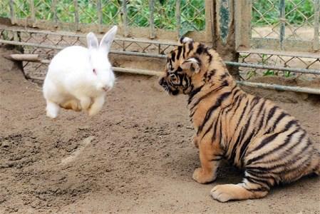 babytiger_rabbit