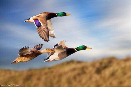 Ducks_flying