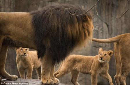 LION_DAD_AND_CUBS2