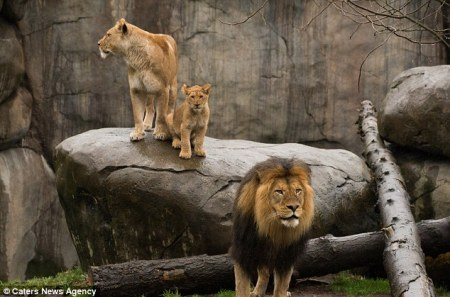 LION_DAD_AND_CUBS3