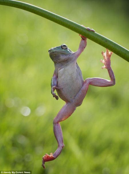 A bodybuilding frog1