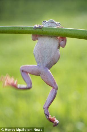 A bodybuilding frog2