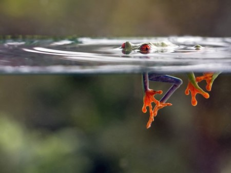 frog_red_eyed