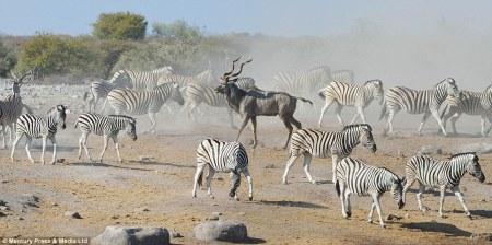 kudu_hides_zebras