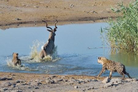 kudu_zebra