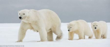 polarbear_cubs1