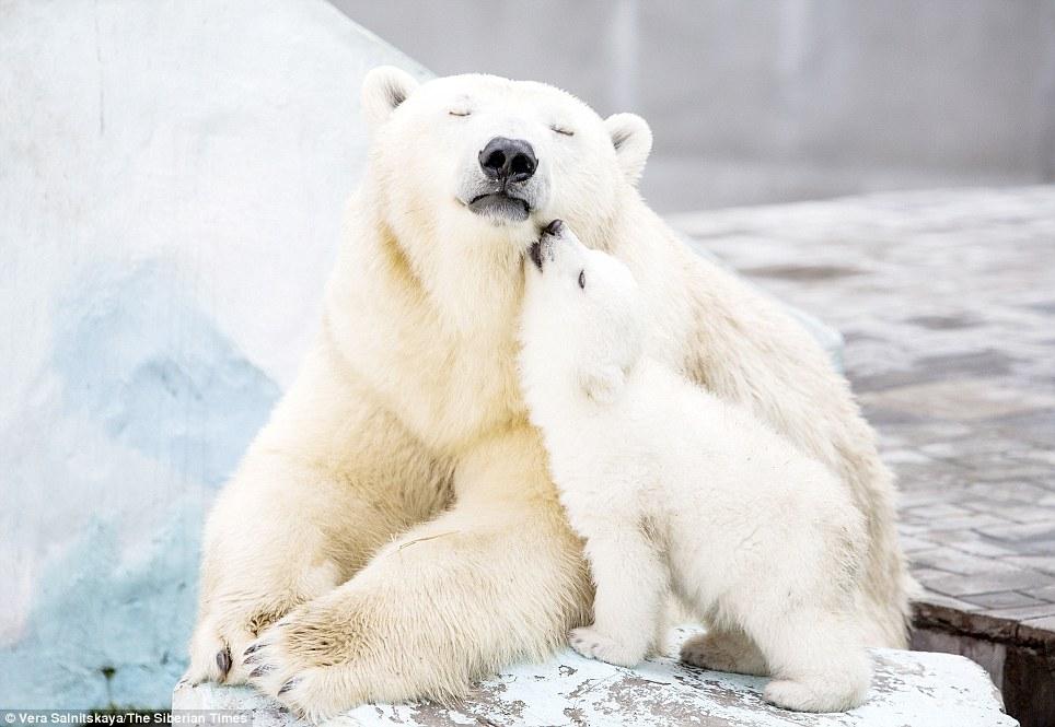 Polar bear with cubs - photo#11
