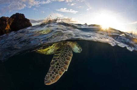 turtle_hawai