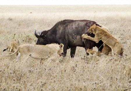 buffalo_lions