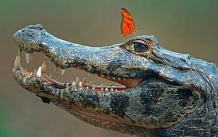 crocodile_butterlies
