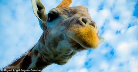 girafe_selfie