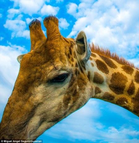 girafe_selfie1