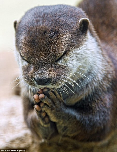 otter_praying