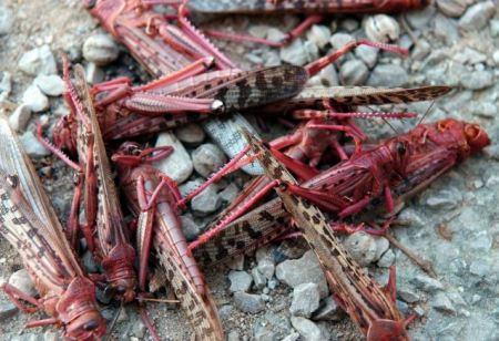 Lebanon was invaded by swarms of red locusts