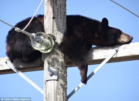 bear_hydro_pole