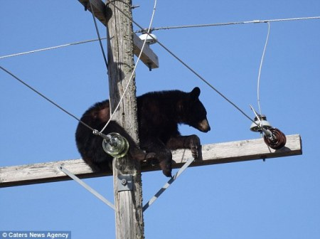 bear_hydro_pole1