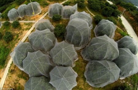 china_strawberry_trees