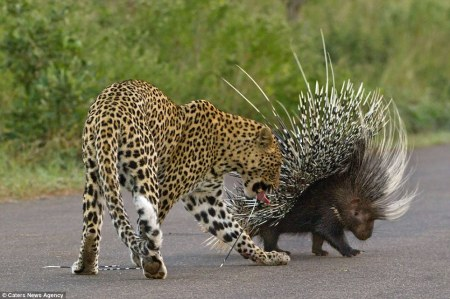 Leopard_and_Porcupine