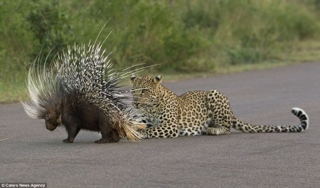 Leopard_and_Porcupine1