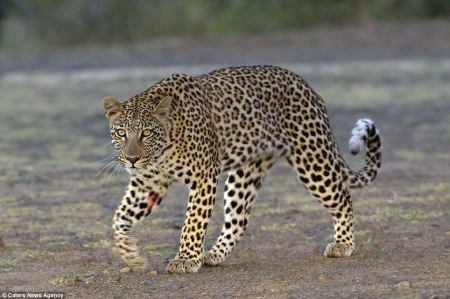 Leopard_defeated