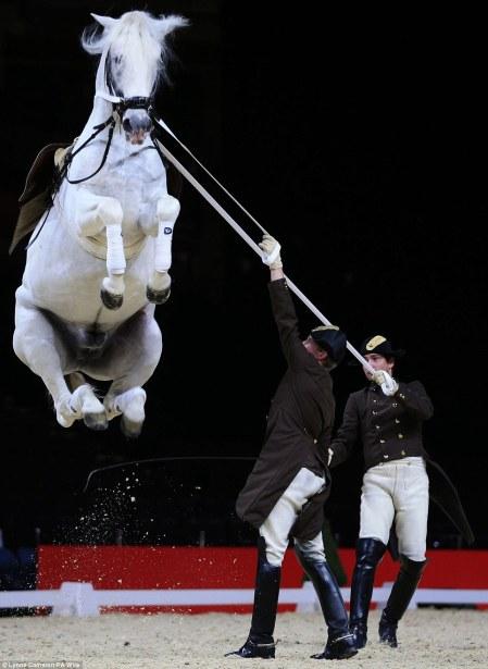 stallion_spanish