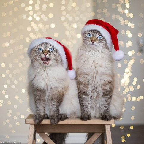 Cats_christmast