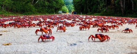 red_crabs