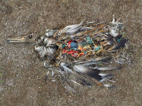albatross_plastic_ingestion