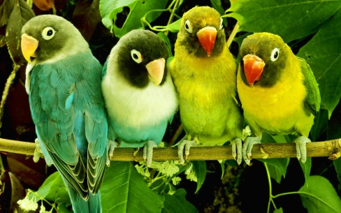 beautiful_parrots