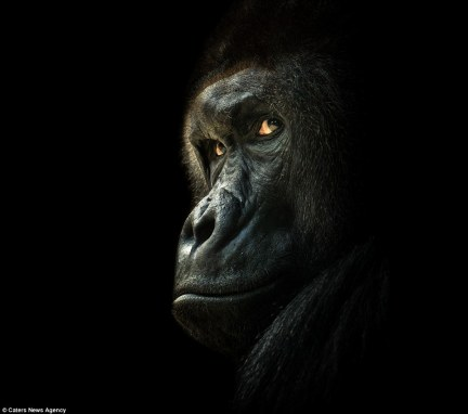 2906CA3700000578-0-PIC_BY_PETR_BAMBOUSEK_CATERS_NEWS_Pictured_A_Gorilla_at_Prague