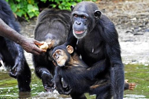 baby_ape