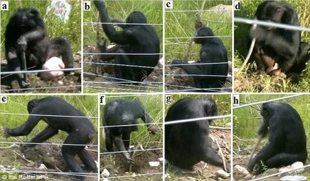 bonobos_making_tools