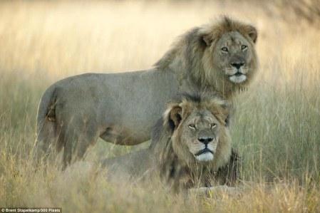 cecil_the_lion2