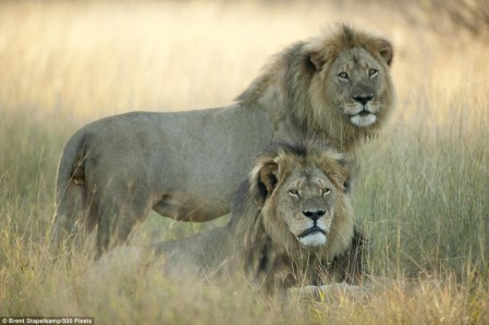 cecil_the_lion2
